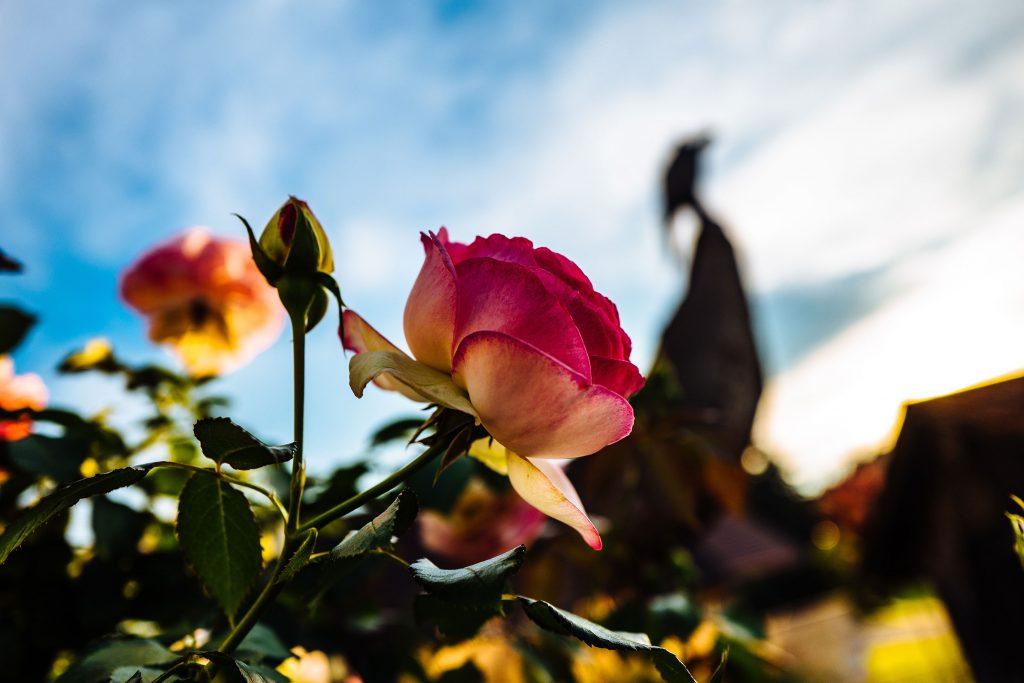 Rose - himmel